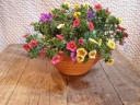 カリブラコア陶器鉢植え'大'