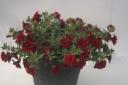 八重咲カリブラコアブラック陶器鉢植え