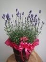 """花と香りの贈り物""""イングリッシュラベンダー""""カゴ付"""
