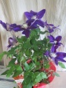 濃い紫色のクレマチス