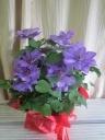 """花付きが非常に良い品種""""ミゼットブルー"""""""