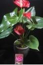 赤アンスリューム陶器鉢&ピンクバラ入浴剤