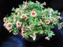 オレンジ色系カリブラコア陶器鉢植え
