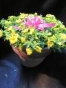 イエローカリブラコア陶器鉢植え