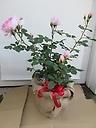 ピンク系おまかせイングリッシュローズ9号鉢