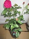 濃いピンクまたはレッド、イングリシュローズ9号鉢