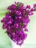ブーゲンビリア 赤紫 6号