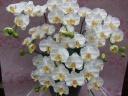 光触媒 コチョウラン 5本立 白黄 陶器鉢入