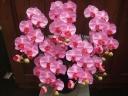 光触媒 コチョウラン ピンク 5本立陶器鉢入