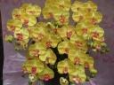 光触媒 コチョウラン 黄 5本立 陶器鉢入