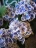 アジサイ鉢植え ブルー ババリア 5号