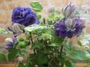 クレマチス鉢植え 八重紫 キリテカナワ6号カゴ入
