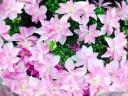 アジサイ鉢植え 星咲ダンスパーティ ピンク5号