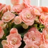 ベゴニア鉢植えバラ咲 ビノスソフトピンク5号カゴ入