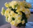 バラ咲ベゴニア鉢植え新品種 ボンボンレモン5号