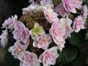 八重咲ガクアジサイ鉢植え 雨に唄えば ピンク5号
