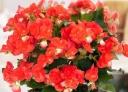 八重咲きベゴニア鉢植え オレンジストーン5号