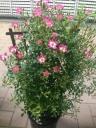 つるバラ(ミニバラ)鉢植え6号 トレリス仕立て
