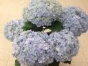 あじさい 鉢植え てまりてまり ブルー5号 カゴ付