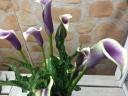 珍しい紫のプレミアムカラー鉢植え 5号 カゴ入