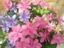 アジサイ鉢植え ダンスパーティ2色植え 5号