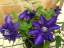 八重クレマチス鉢植え 紫スイセイ2号