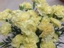 カーネーション鉢植え 黄パームビーチ5号 カゴ付