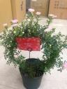 つるバラ鉢植えリング仕立て ピンク真珠貝 カゴ付