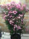 ミニバラ鉢植え 雅 トレリス仕立て