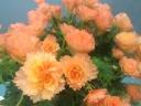 新品種ベゴニア鉢植えオレンジ ルネッサンスプット