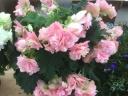 リーガースベゴニア鉢植え ジャンヌダルク フリンジ