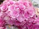 アジサイ鉢植え 筑紫ルビー 5号 カゴ付
