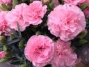 カーネーション鉢植え ピンク 5号カゴ付