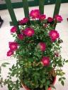 つるバラ鉢植え トレリス仕立て キングローズ
