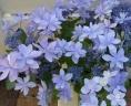 アジサイ鉢植え ダンスパーティ ブルー5号