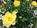 バラ鉢植え サンスプラッシュ 6号