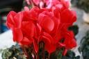 ボリュームたっぷり 高級シクラメン鉢植え6号 赤