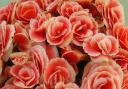 リーガースベゴニア鉢植え バラ咲「ボリアス」5号