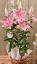 ピンクのユリ鉢植え ソルボンヌ3本立 6号カゴ付