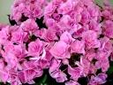 アジサイ鉢植え フェアリーアイ ピンク5号