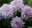 クレマチス八重 薄紫 ベル・オブ・ウオーキング6号