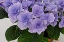 アジサイ鉢植え フェアリーアイ ブルー5号