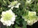 クレマチス鉢植え 八重 白万重 5号