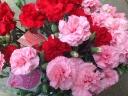 カーネーション鉢植え 赤・ピンク 2色植え 6号