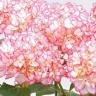 アジサイ鉢植え 新品種 「未来 」5号