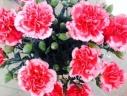 カーネーション鉢植え 複色チェリータルト5号カゴ付