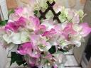ブーゲンビレア鉢植え ブライダルピンク