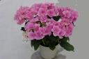 アジサイ鉢植え フェアリーアイ ピンク  5号