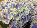 アジサイ鉢植え ありがとう ブルー5号カゴ付