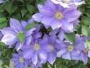 クレマチス鉢植え 紫 H・Fヤング